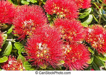 fleur, fleurs, arbre, pohutukawa, rouges