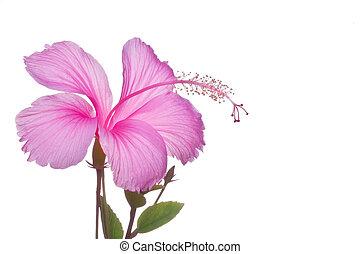 fleur, hibiscus