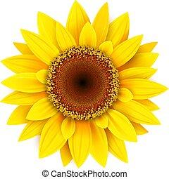 fleur, isolé, tournesol