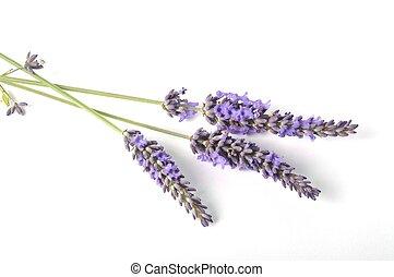 fleur lavande, fond blanc