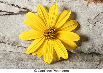 fleur, macro, jaune, studio, pâquerette, coup