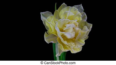 fleur, noir, tulipe, fleurir, blanc, arrière-plan., timelapse