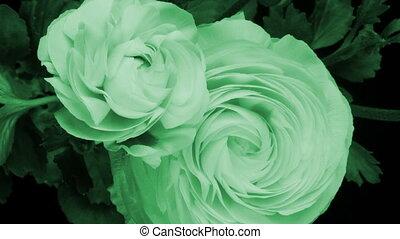 fleur, (persian, buttercup), sur, timelapse, jours, jaune, période, ranunculus, croissant, 8, asiaticus