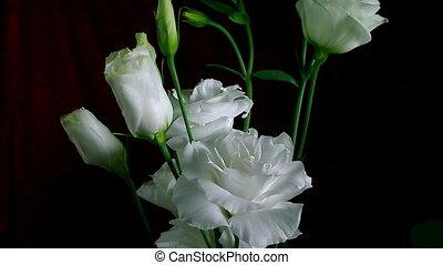 fleur, pivoine, timelapse, arrière-plan noir, fleurir, blanc