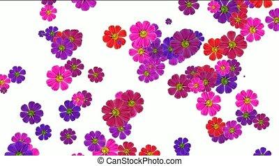 fleur, pourpre, tomber, pâquerette
