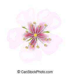 fleur rose, amande, isolé, macro, arrière-plan., closeup, blanc