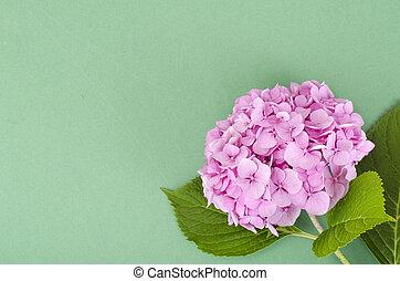 fleur rose, disposition, hortensia, clair, fond