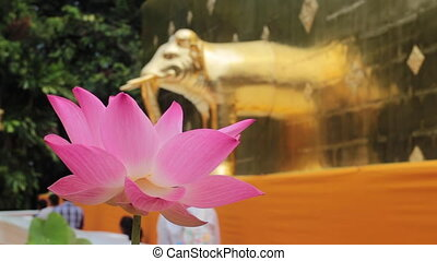 fleur, rose, fleur, temple, lotus, beau