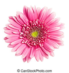 fleur rose, isolé, fond, blanc, gerbera