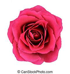fleur, rose, isolé, fond, blanc rouge