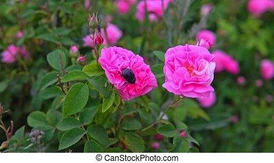 fleur rose, jardin, mai, rose, coléoptère, assied