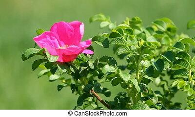 fleur, rose, sauvage