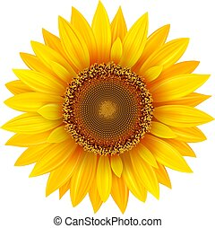 fleur, tournesol, isolé