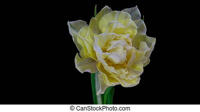 fleur, tulipe, arrière-plan., timelapse, fleurir, blanc, noir