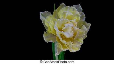 fleur, tulipe blanche, timelapse, fleurir, arrière-plan., noir