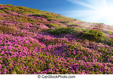 fleurir, rhododendron, montagnes