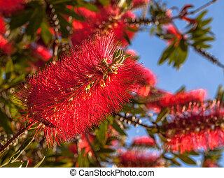 fleurs, arbre, pohutukawa, rouges