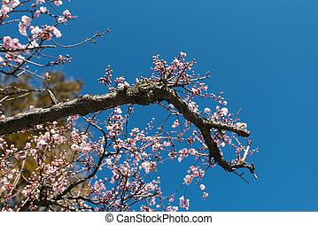 fleurs, arbre, printemps, rose, contre, fleurir, clair, ciel bleu, branche