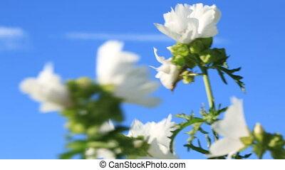 fleurs blanches, vent, mouvementde va-et-vient