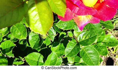 fleurs, buisson, jardin, rose