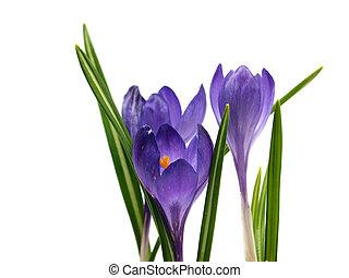 fleurs, colchique