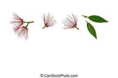 fleurs, espace, arbre, au-dessous, pohutukawa, fond, blanc, copie, rouges