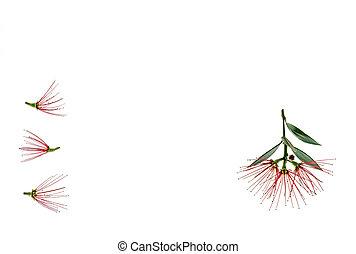 fleurs, espace, arbre, milieu, pohutukawa, fond, blanc, copie, rouges
