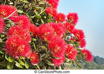 fleurs, fleur, pohutukawa, rouges