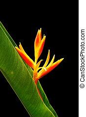fleurs, heliconia