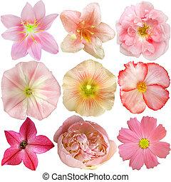fleurs, isolé, ensemble, rose, blanc
