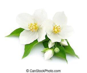 fleurs, jasmin, blanc