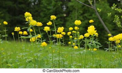 fleurs, jaune, été, champ