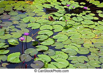 fleurs, lac, lotus