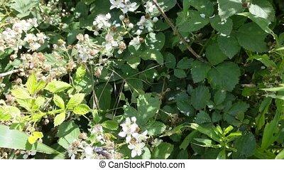 fleurs, mûres