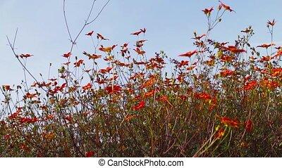 fleurs oranges, parterre fleurs
