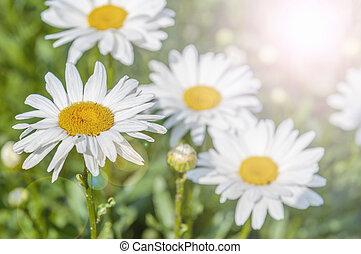 fleurs, pâquerette, spring.