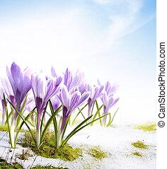 fleurs, perce-neige, printemps, colchique