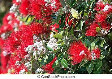fleurs, pohutukawa, rouges, fleur