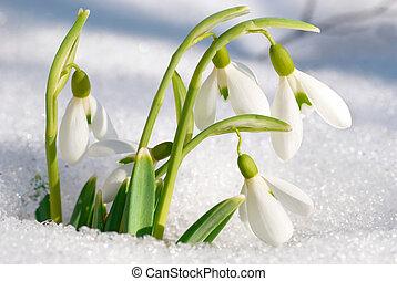 fleurs, printemps, perce-neige