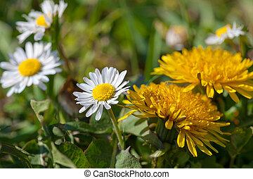 fleurs, printemps, pissenlit, pâquerette