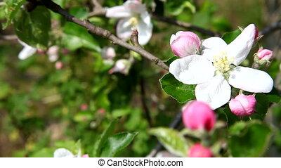 fleurs, printemps, pomme, blanc