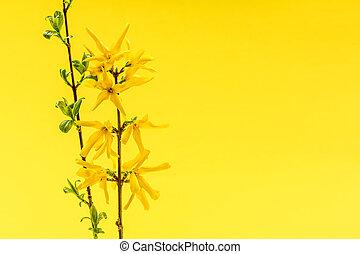fleurs ressort, fond, jaune, forsythia