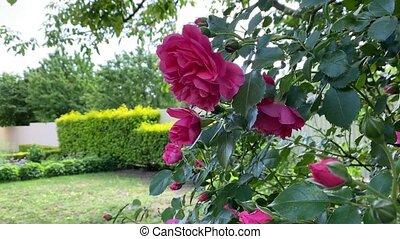 fleurs, rose, variété, beau, roses, brise, bourgeons, floraison, uetersen, vaciller, rosarium