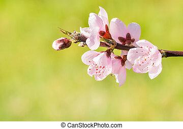 fleurs roses, pêcher, brouillé, arrière-plan vert, brindille, fleur