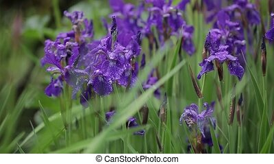 flore, insignifiant, wind., grandir, gros plan, fleurs, vue., romantique, iris, girl, venteux, beau, date., weather., après-midi, séduisant, frais, vaciller, violet, herbe, cadeau, grand