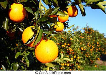 floride, oranges