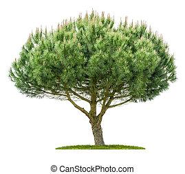 fond, blanc, arbre, isolé, pin