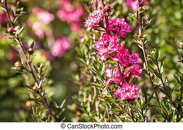 fond, copie, fleur, brouillé, rose, manuka, espace, fleurs, arbre