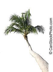 fond, isolé, arbre, paume, noix coco, blanc