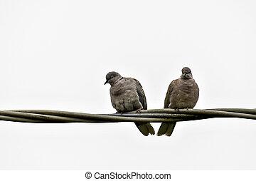 fond, paire, blanc, arrière-plan numérique, photo, colombes, image